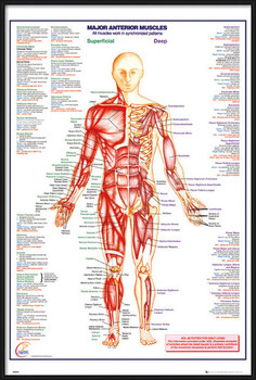 Gerahmte Poster Human Body - Major Anterior Muscles